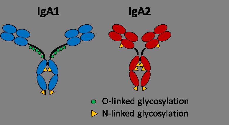 Bild Antikörper IgA1 und IgA2